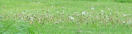 eikä puutarhassakaan/ ole hyvää ollenkaan/ ei siellä kasva mikään muu/ paitsi miljoona voikukkaa (männikkö melancholysta)